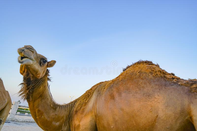 Camel from low point of view. Against blue sky stock photo