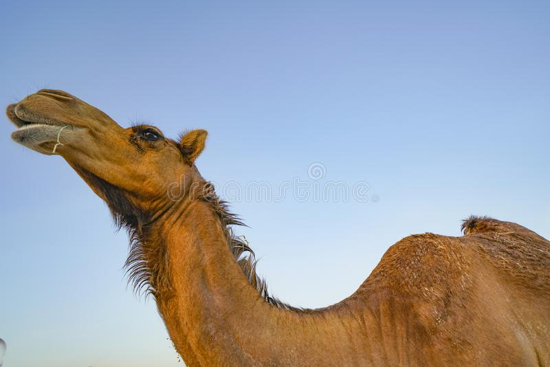 Camel from low point of view. Against blue sky stock image