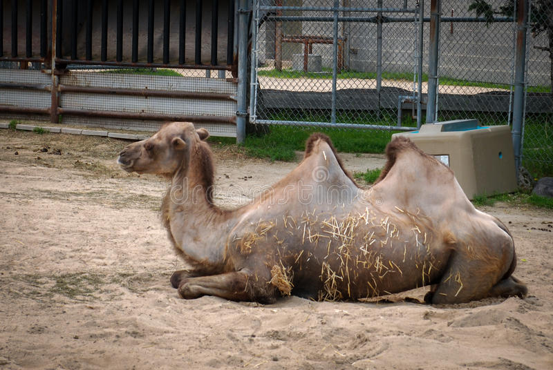 Camel. Lying on the ground in the zoo Winnipeg, Manitoba, Canada stock photo