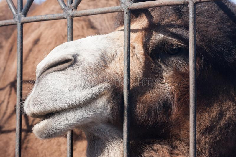 The camel is majestic. Photo horizontal orientation. Photo for your design stock photos