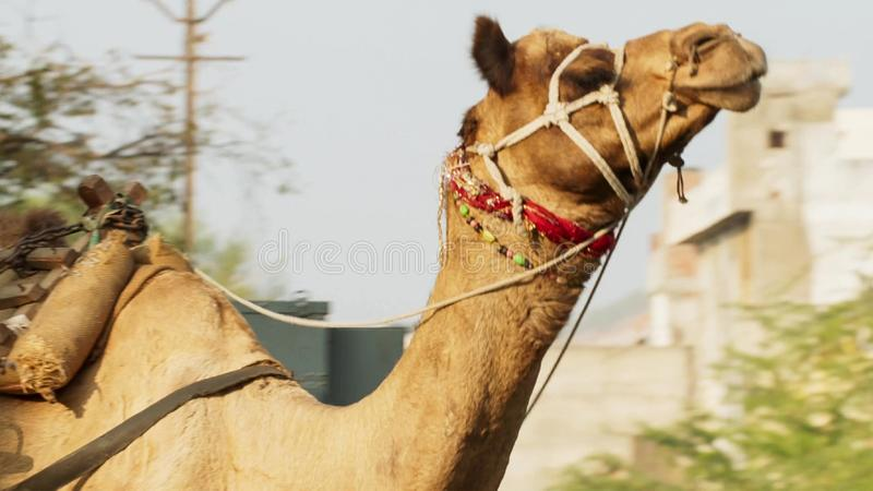 Camel in the middle of Mumbai city center, a sharp contrast between urban life and farm animals, India. Wildlife concept royalty free stock image