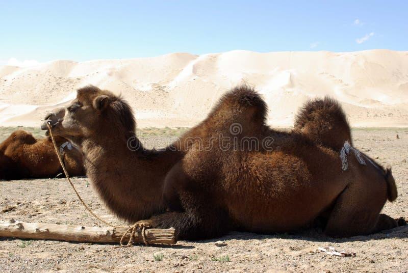 Download Camel in Mongolia stock image. Image of herd, wild, desert - 19875049