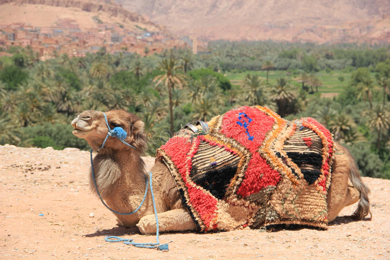 Camel in Morocco royalty free stock photo