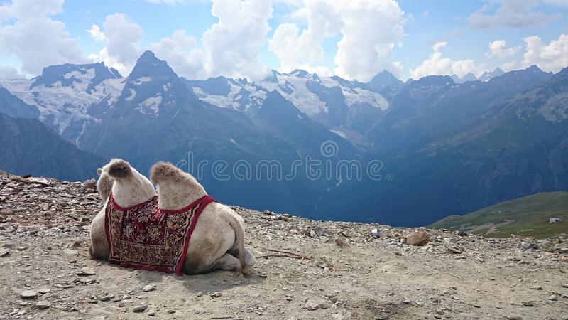 camel in the mountains royalty free stock images