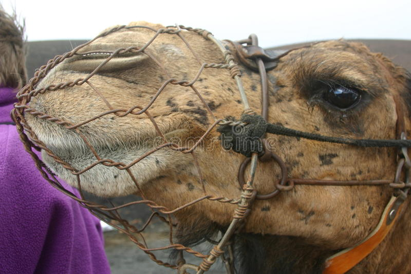 Camel with wire muzzle. Used for taking tourists on rides stock image