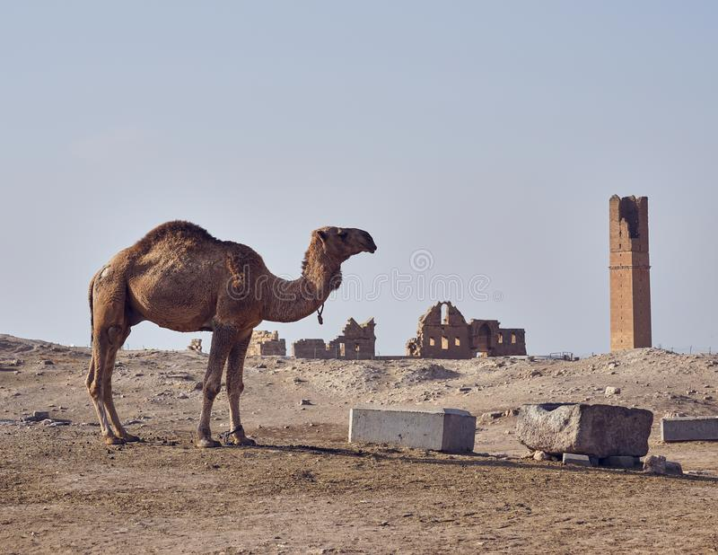 A camel and oldest university remainings in Harran stock images