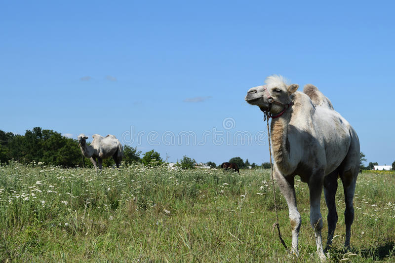 Camel on a pasture. Animals on private farm royalty free stock images