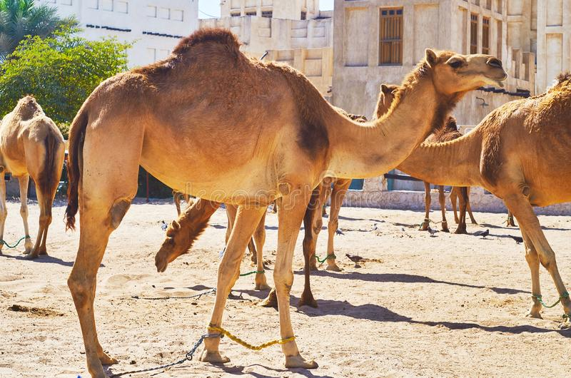 Animals in city, Doha, Qatar. Camel pen in old Doha is popular tourist place, people come here to watch beautiful animals, Qatar stock images