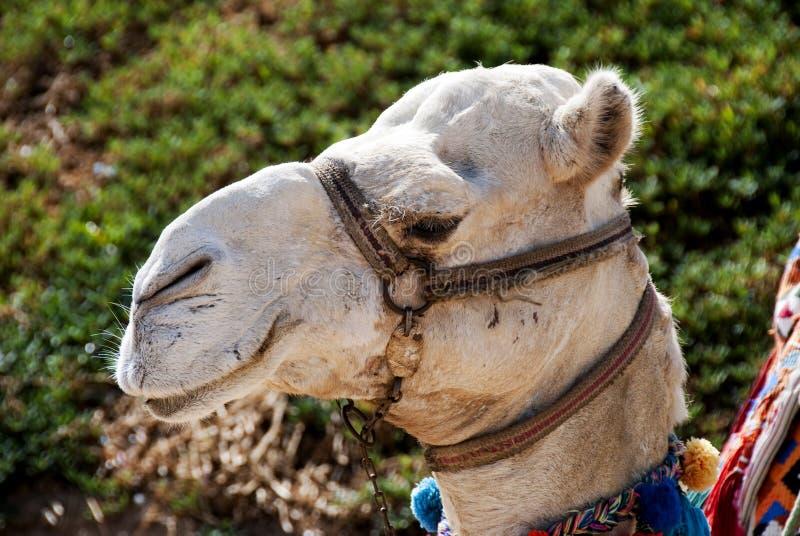 Download Camel portrait stock image. Image of blue, close, nature - 13187307