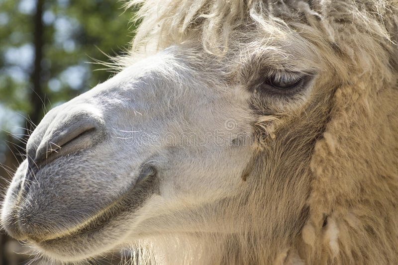 Download Camel portrait stock image. Image of curious, baby, dromedary - 25324395