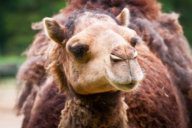 Camel portrait royalty free stock photos