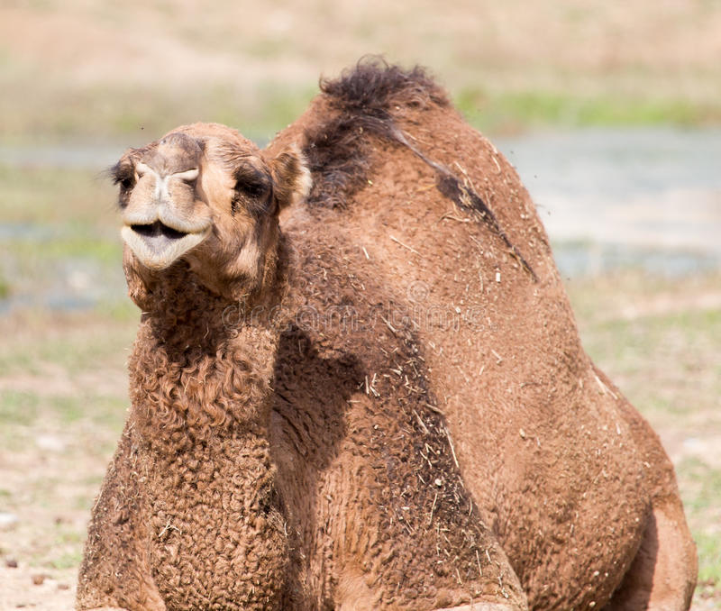 Camel portrait in nature. An animal in a park on nature. A photo royalty free stock image