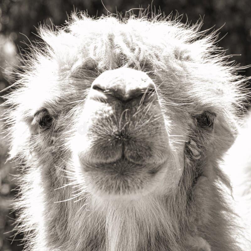 Free Camel Portrait (vintage Sepia Shot) Royalty Free Stock Photography - 25512807