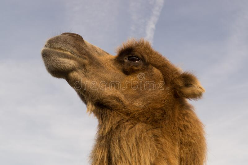 Camel profile stock photography
