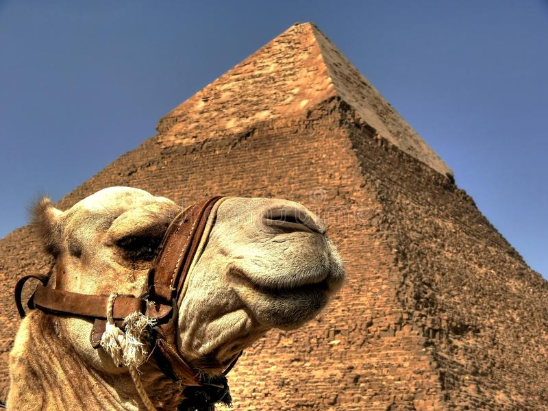 Camel and pyramid. Low-angle shot of camel and Khafre's pyramid stock image