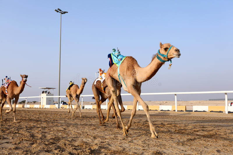 Camel race in Qatar stock photography