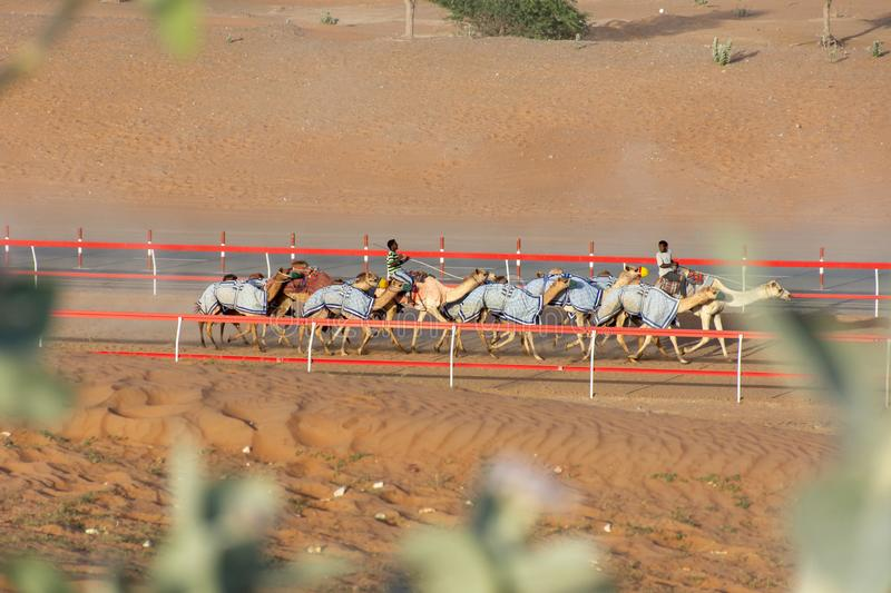 Camel Race Track Practice in the UAE. stock photos