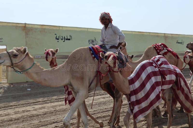 Camel race - training unit royalty free stock photo