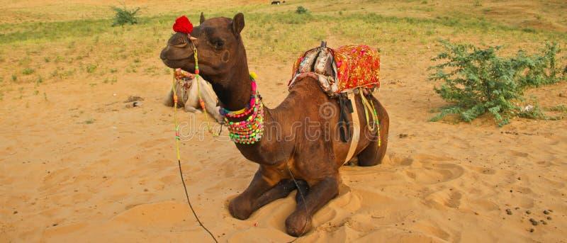 Camel in Rajasthan desert royalty free stock photos
