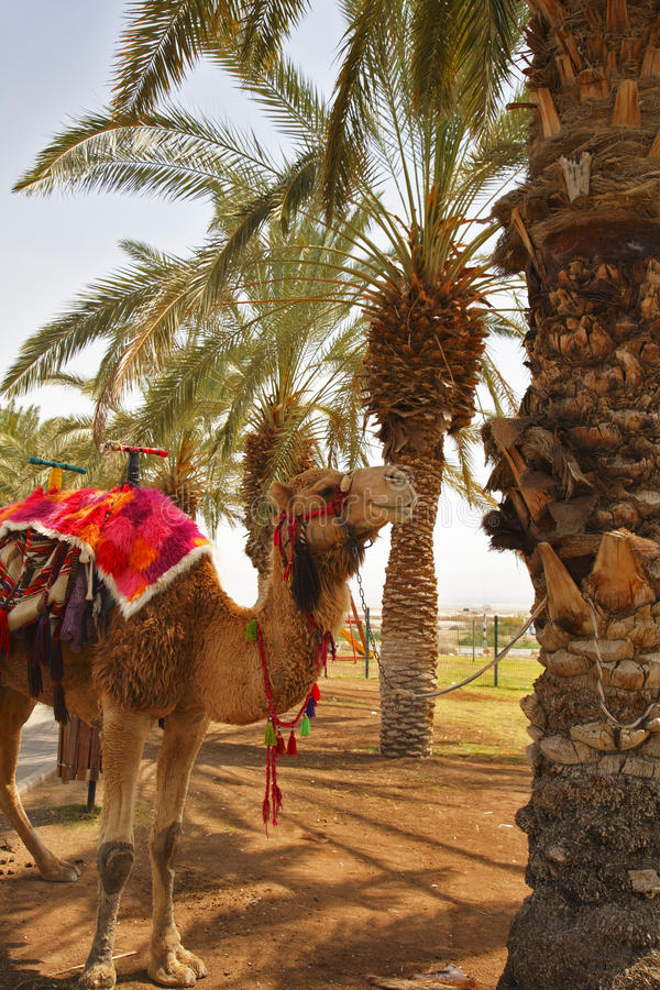 A Camel In A Red Body Cloth Royalty Free Stock Photo