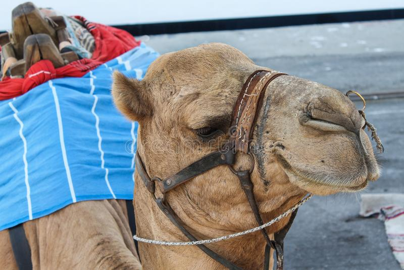 Camel relaxes under the sun royalty free stock photo
