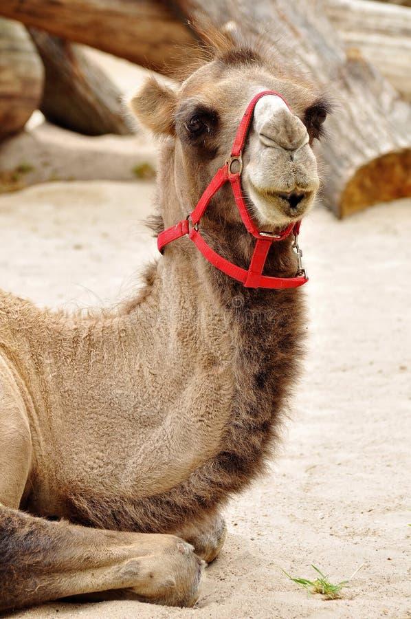 Camel. Resting on sandy ground stock image