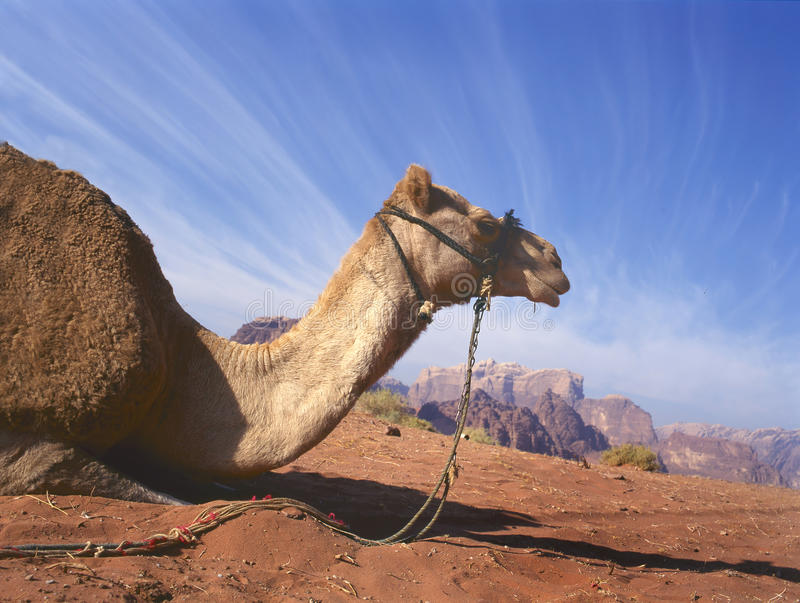 Camel resting in Wadi Rum royalty free stock image
