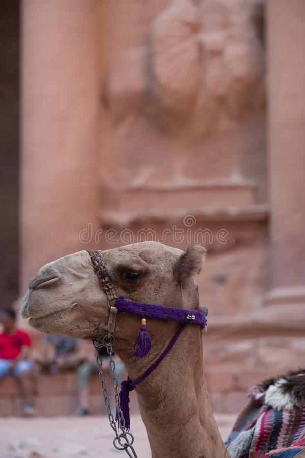 camel rests in Petra royalty free stock images