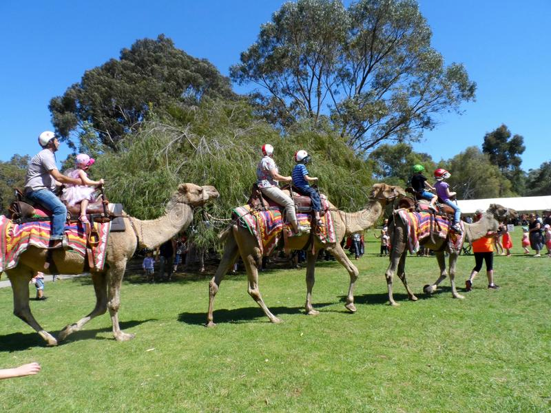 Camel Rides royalty free stock photography