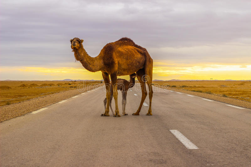 Camel in road stock image