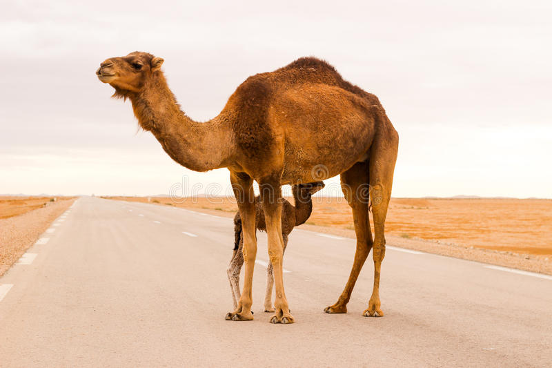 Camel in road royalty free stock images