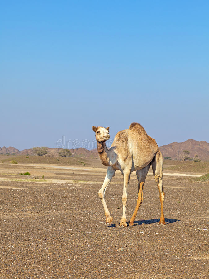 Download Camel In The Rock Desert Stock Image - Image: 34017201