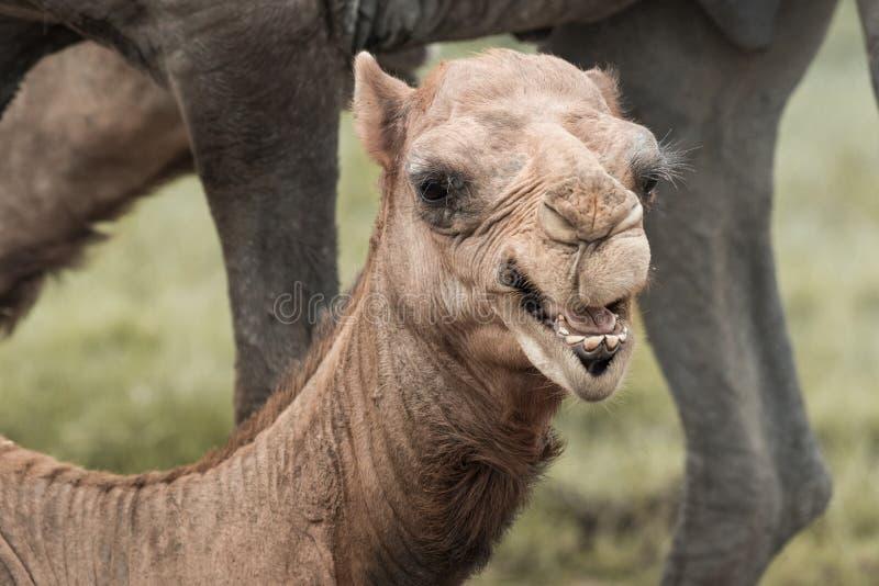 Camel& x27; s头 库存图片