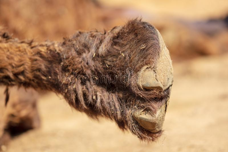 Camel`s foot raised to the top in the zoo.  royalty free stock images