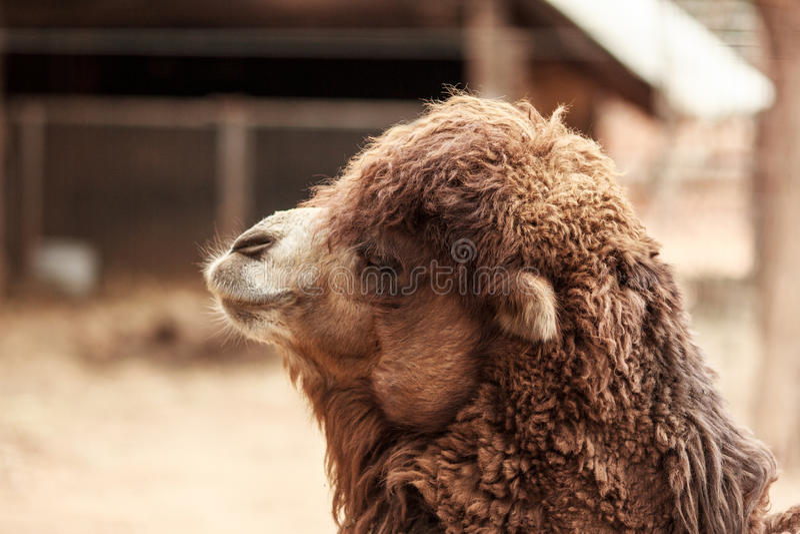 Camel portrait stock photo