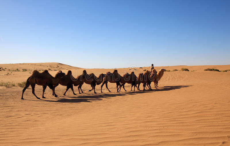 Camel Safari Stock Image