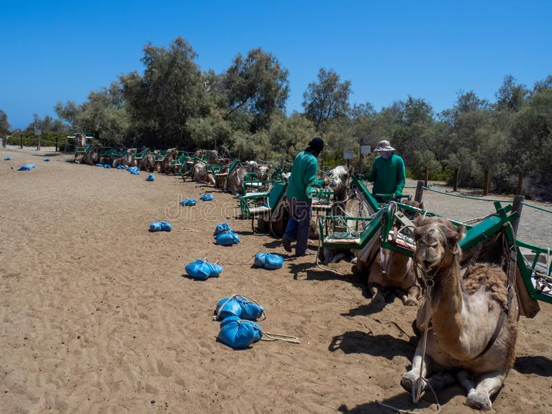 Camel safari at the sand dunes of Maspalomas, Gran Canaria. Gran Canaria/Spain - August 13 2019: Camel safari  in Maspalomas. Maspalomas  is a tourist town in royalty free stock photo