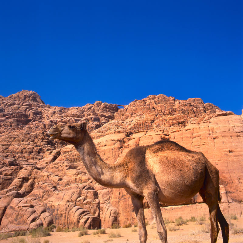 Camel In The Sahara Desert Royalty Free Stock Image