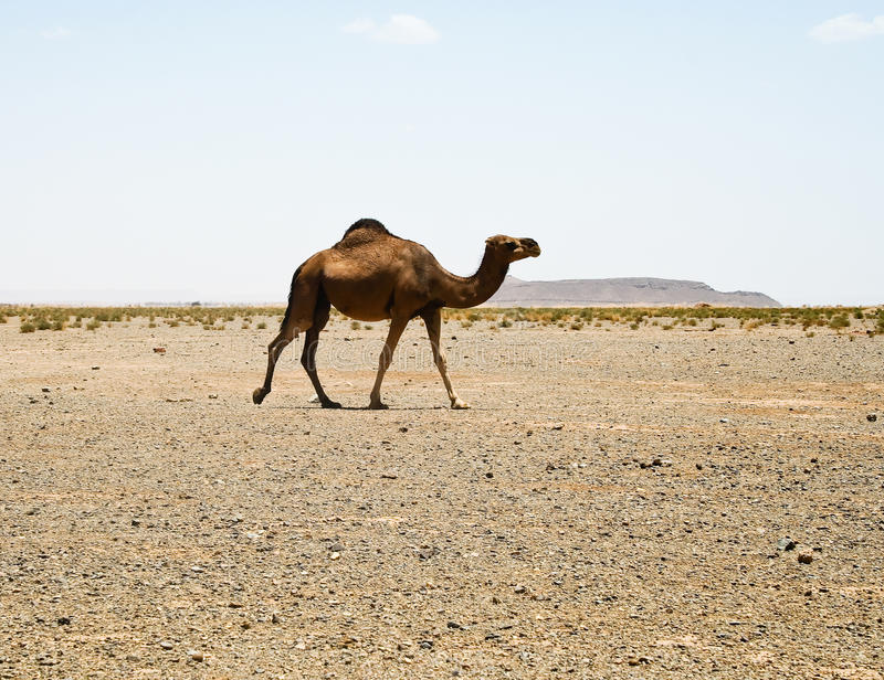 Download Camel in Sahara in Morocco stock photo. Image of middle - 11386670