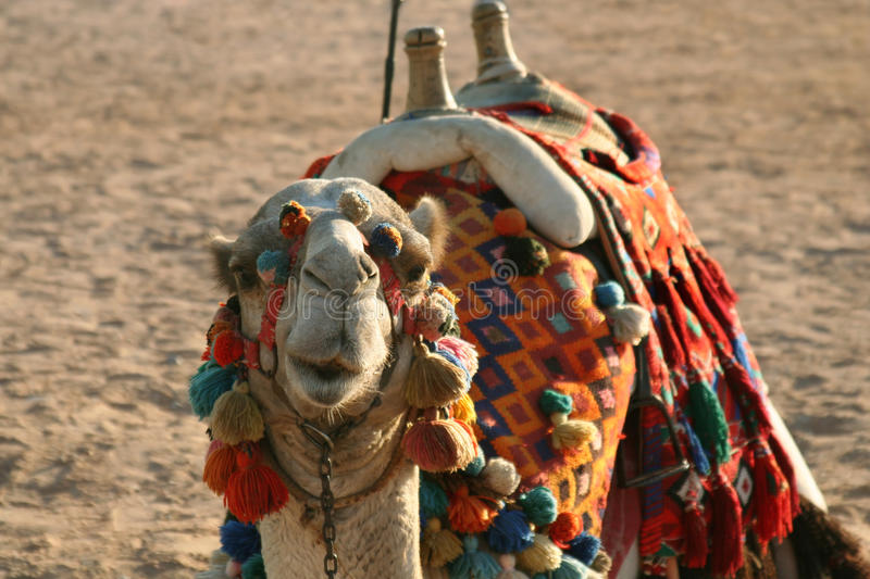Download Camel on a sand stock photo. Image of beach, sand, tourism - 13970426