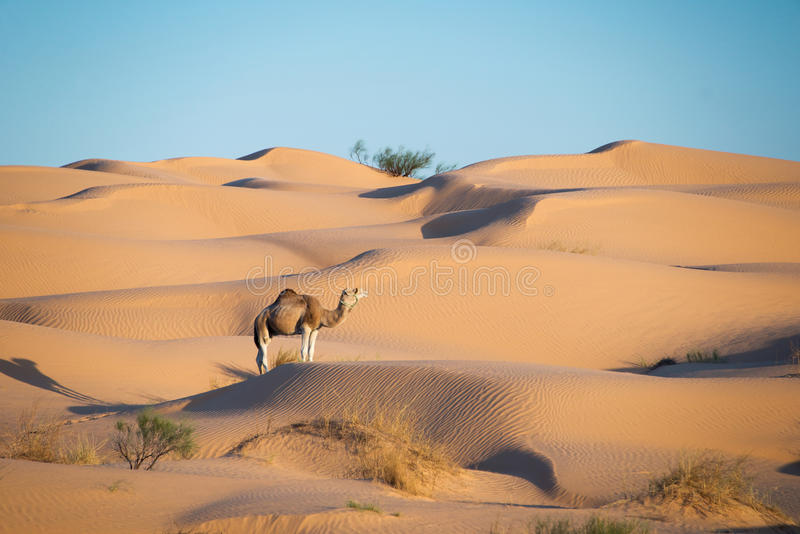 Camel in the Sand dunes desert of Sahara. South Tunisia royalty free stock photo