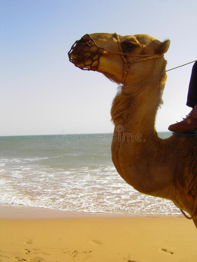 Camel by the sea stock image