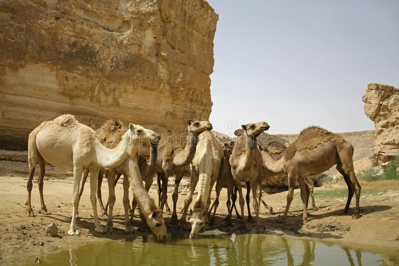 Camel in sede boker desert stock photo