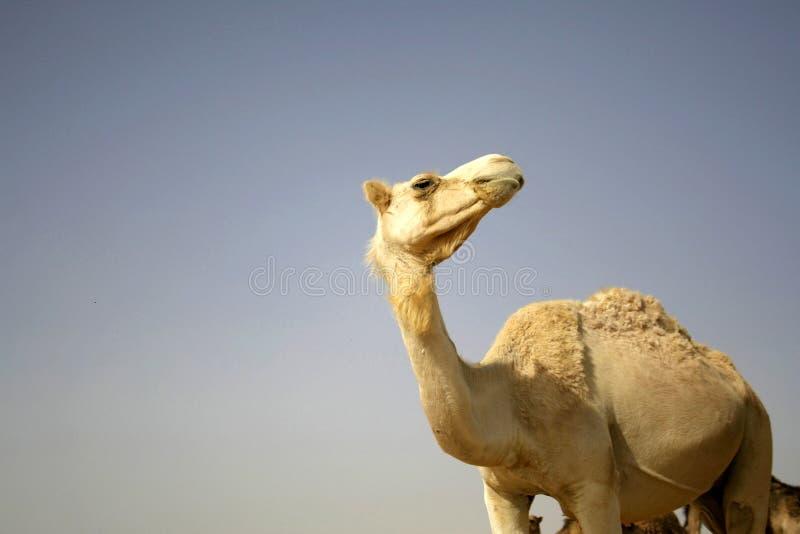 Download Camel in sede boker desert stock image. Image of resort - 3347425