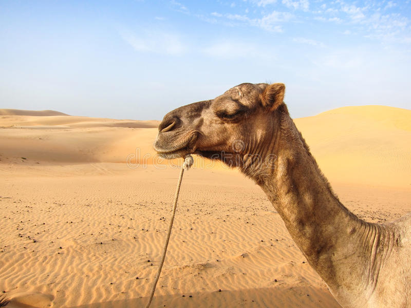 Camel in Senegal royalty free stock images