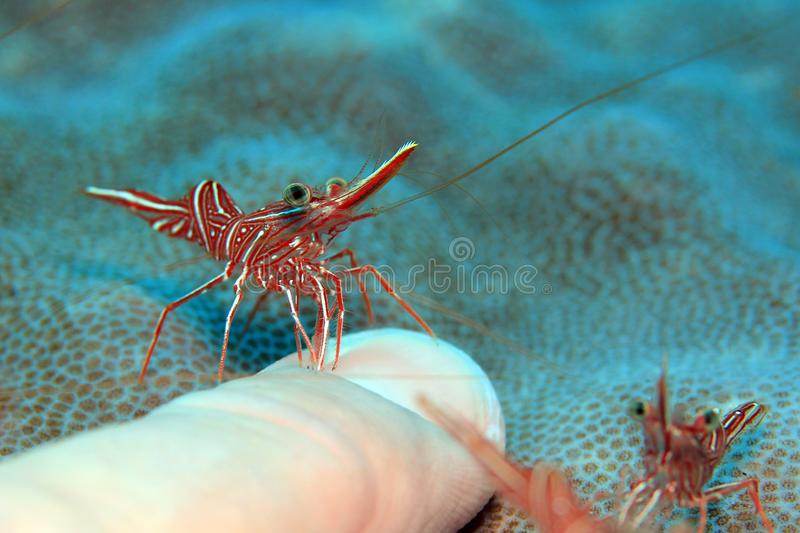 Camel Shrimp Cleaning a Finger Nail stock photography