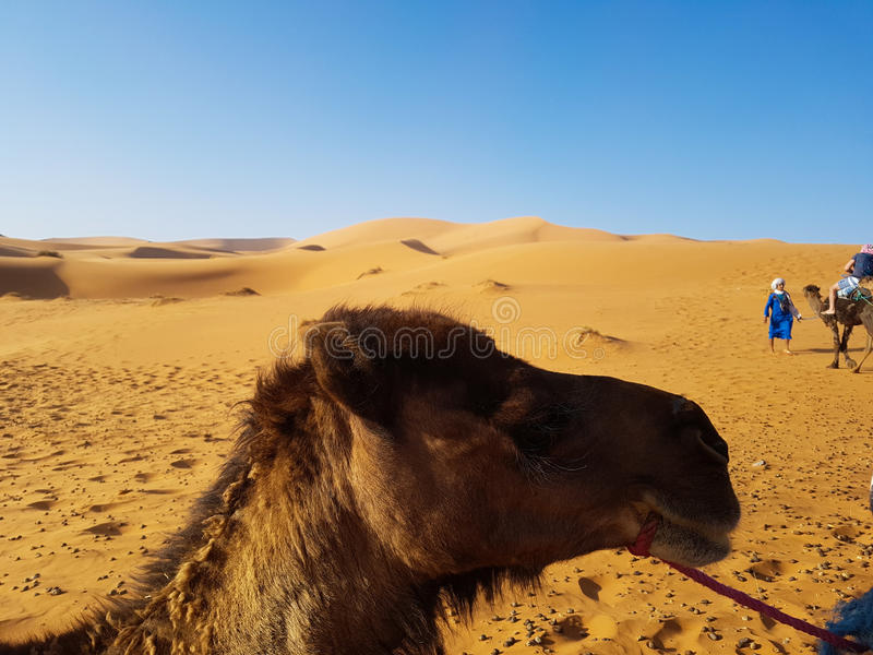 Camel side face royalty free stock images