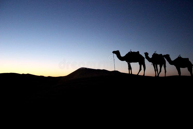Camel silhouettes in the desert stock images