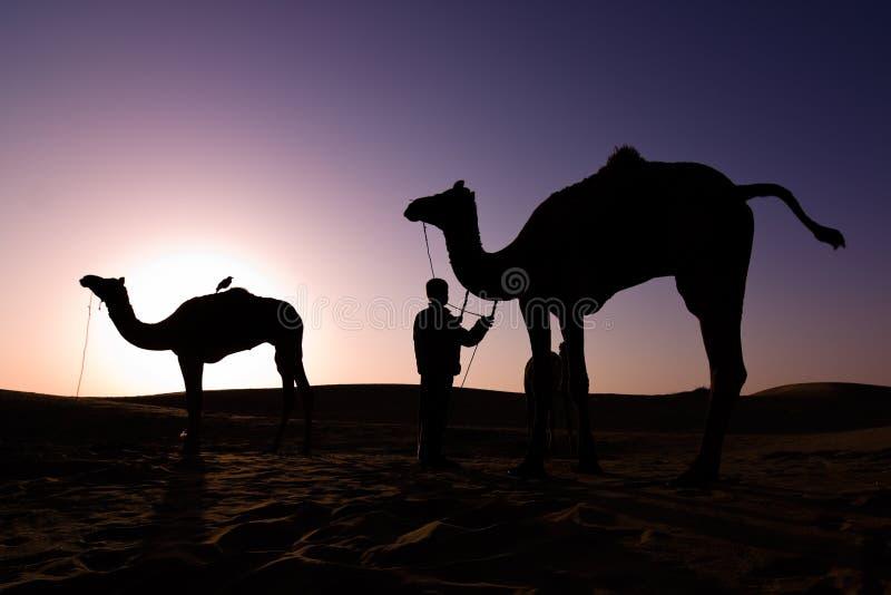 Camel silhouettes at sunrise stock photo