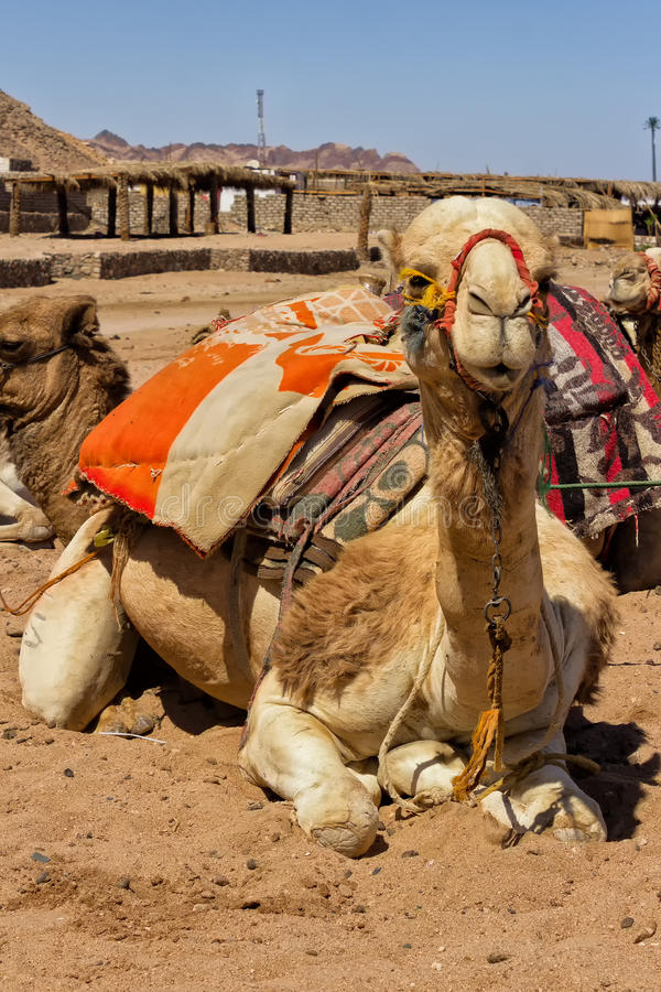Camel sitting in Egiptian oasis. With traditional Bedouin saddle royalty free stock photography